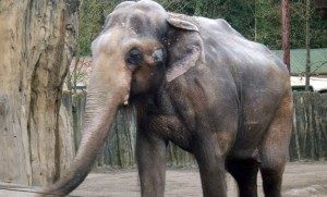 Beloved elephant has been euthanized