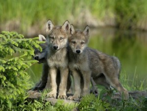 wolf pups takepart