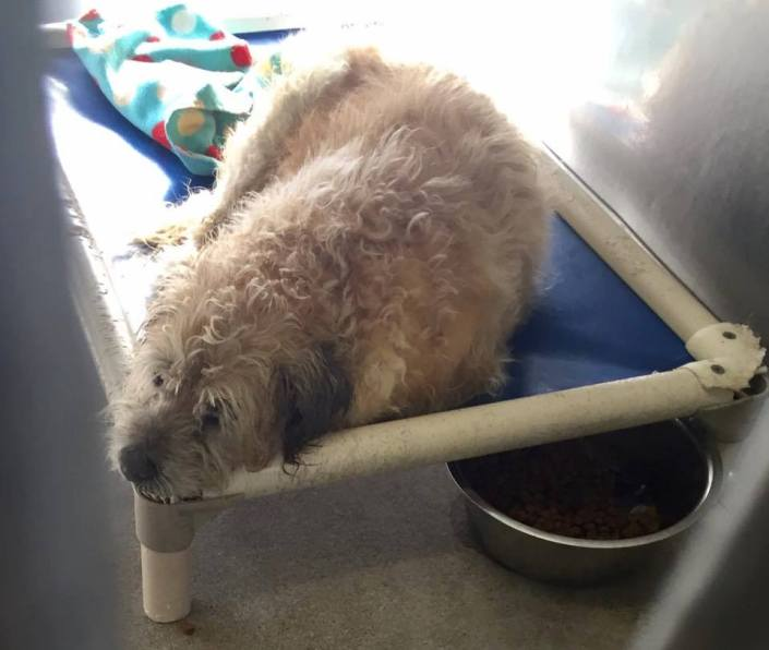 Senior dog is shaking on her bed at animal control
