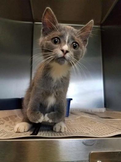 Most Adorable Kitten With Deformed Legs Waiting For Purr Fect Home Pet Rescue Report