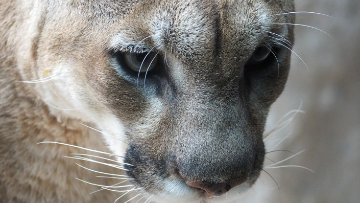 Mountain lion stole dog from home
