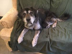 16-yr-old dog needs loving foster home