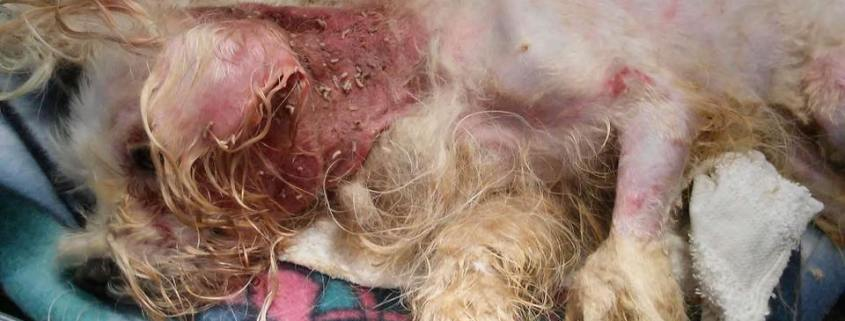 maggot infested dog who lived in outside feces filled pen