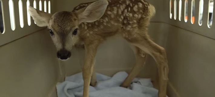 Baby deer taken from the wild