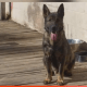 German shepherd stolen, shot and killed