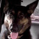 K9 died from heatstroke while boarded at veterinary hospital