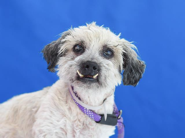 Snaggletooth senior needs a new lap to cuddle on