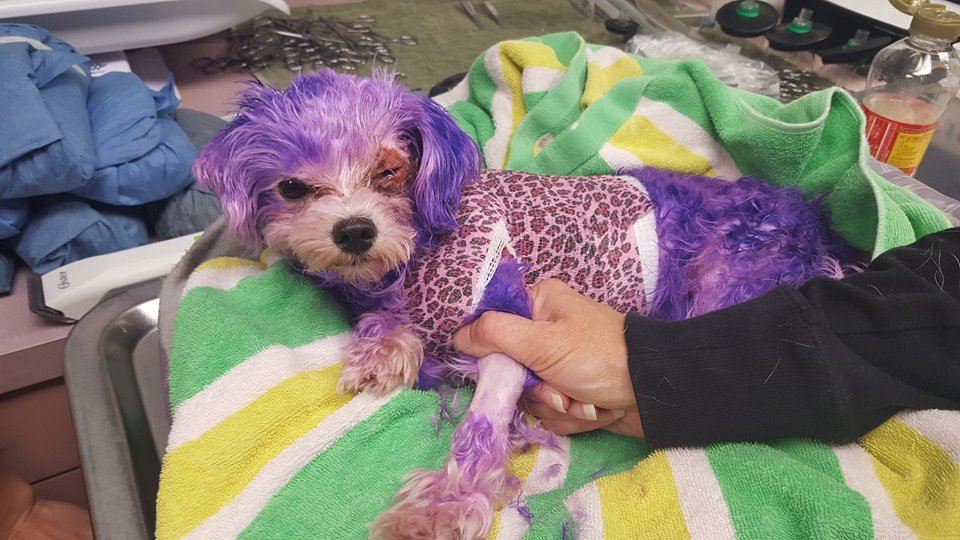 Dog nearly perished after being dyed with human hair coloring • Pet ...