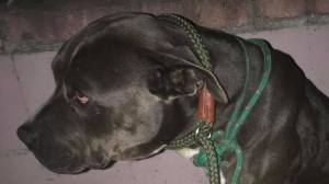 Dumped dog dead just weeks after being adopted from shelter