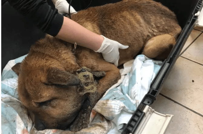 Horribly neglected dog rescued