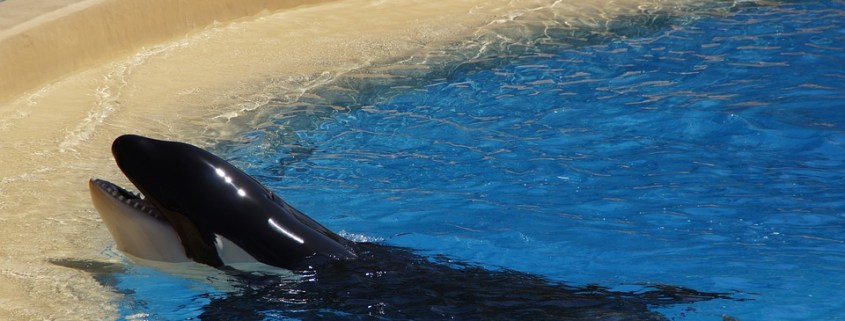 Animal lovers worry about captive killer whale