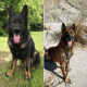 Homes needed for retired police dogs