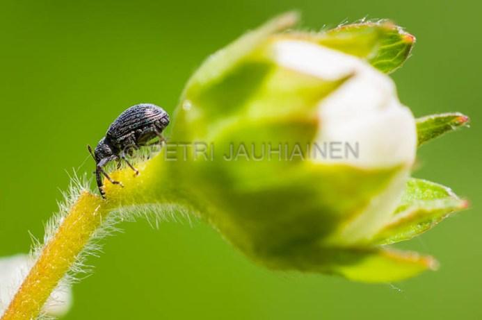 Vattukärsäkäs katkaisemassa mansikan kukkaperää