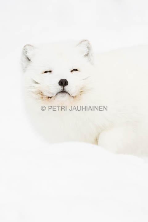 Ranuan eläinpuisto naali valokuvaaja Petri Jauhiainen
