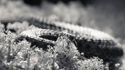 Kyykäärme valokuvaaja Petri Jauhiainen Kuopio