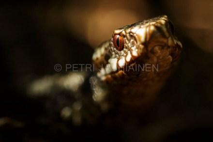 Kyykäärme valokuvaaja Petri Jauhiainen