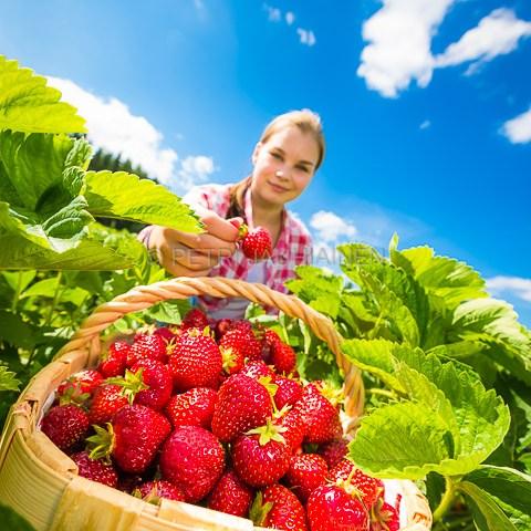 Kesän mansikat valokuvaaja Petri Jauhiainen