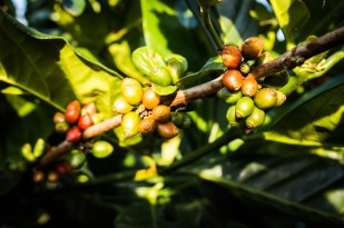 Káva je na Bolavenské planině všudypřítomná