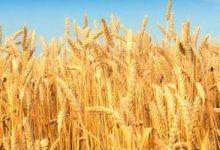 ارتفاع أسعار صادرات القمح الروسى لمخاوف بشأن الإمدادات بعد منتصف مايو