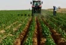 صورة كيف نجحت زراعة القطن قصير التيلة شرق العوينات وما أسباب ضعف الإنتاجية؟