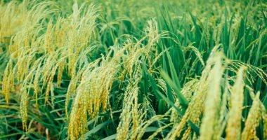 """غرفة صناعة الحبوب: طرح كيلو الأرز بـ 6.5 جنيه للمستهلك بمعارض """"أهلا رمضان"""""""