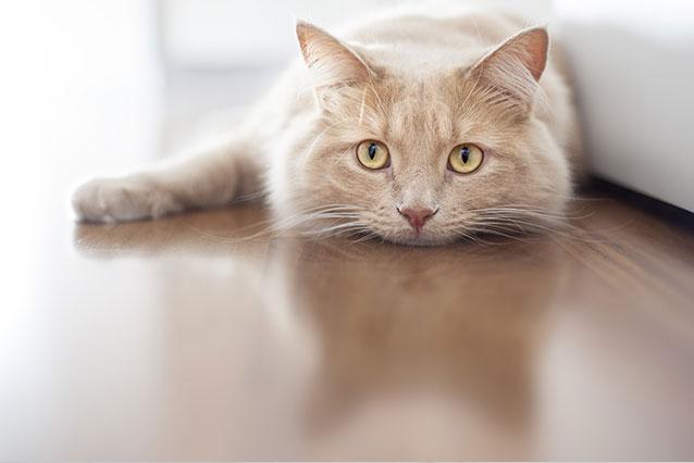 Кормление питомца при гиперпаратиреозе алиментарном Симптомы гиперпаратиреоза алиментарного у кошек