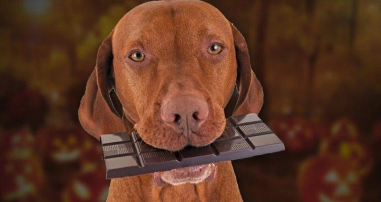 검은 색과 자연 초콜릿보다 더 위험한 개가 더 위험합니다.