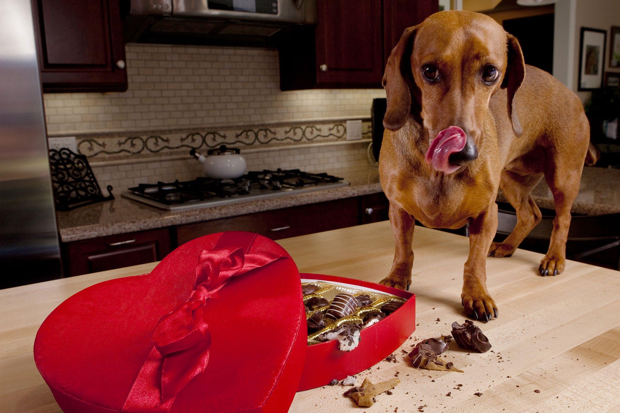 초콜릿은 개에서 신중하게 숨겨야합니다