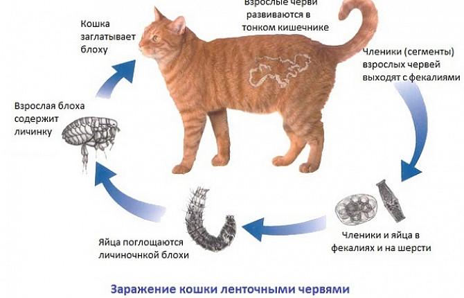 Белдік құртының өмірлік циклі