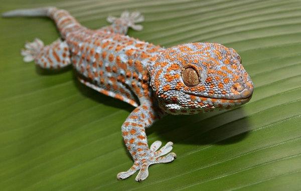 Геккон: фото, описание, особенности жизни в природе и ...
