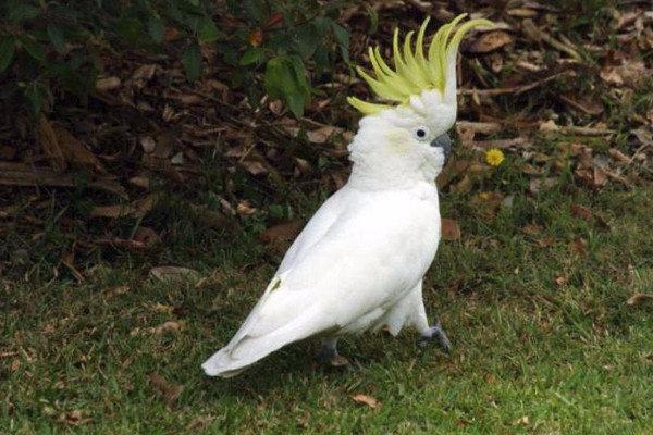 Какаду: описание, фото, виды, роды, научная классификация птиц