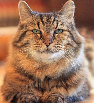 Котыдолгожители с описанием и фото сколько лет самому