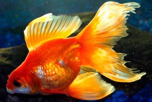Золотые аквариумные рыбки: какие бывают виды, описание и фото