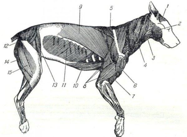 Анатомия собаки: строение скелета и внутренних органов ...