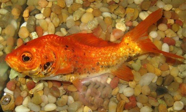 Болезни аквариумных рыб: симптомы и лечение, профилактика ...