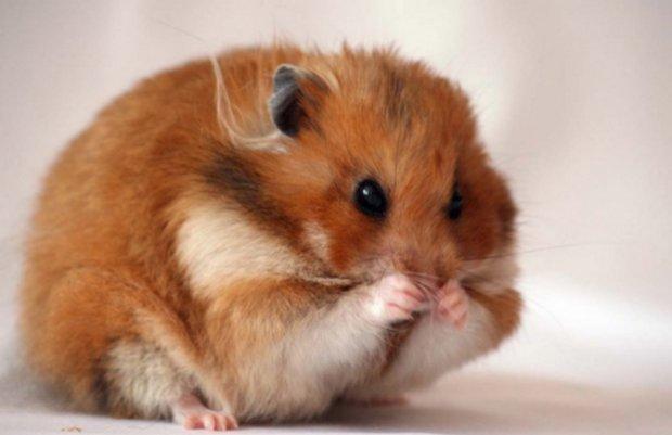 hamster pierde în greutate)