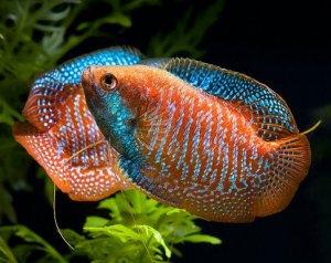 Самые большие аквариумные рыбки: фото и названия