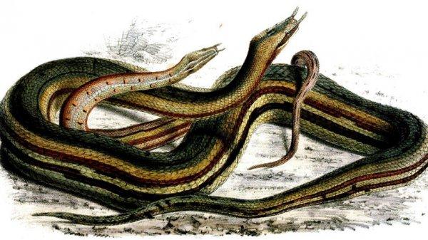Водяная змея: виды, описание и фото, видео