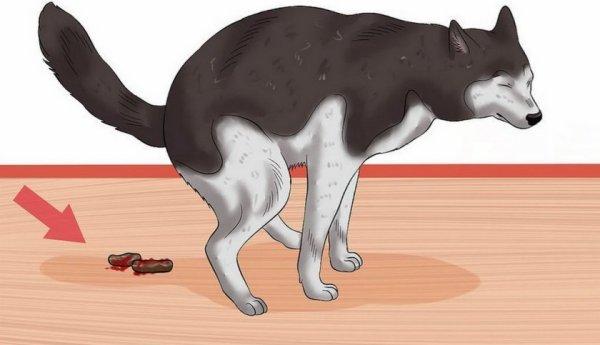 Собака какает кровью: причины красного кала, что делать ...