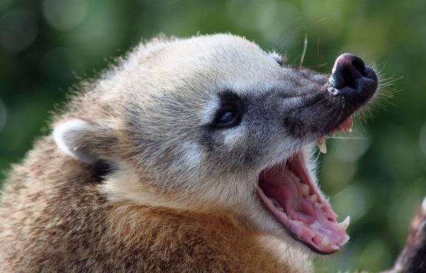 Енот носуха (коати): описание, фото, особенности ...