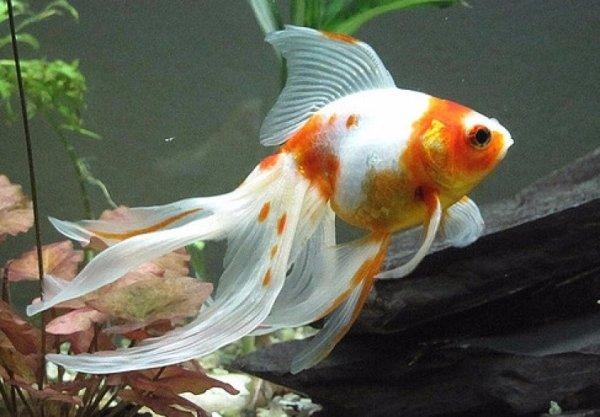 Вуалехвост: особенности содержания золотой рыбки в аквариуме
