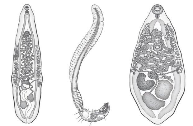 garnélarákszerű paraziták férgek a hólyag tüneteiben