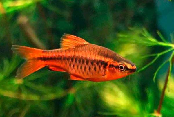 Барбусы: описание и фото популярных видов