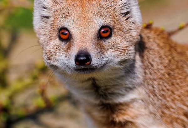 Животное мангуст: описание и фото, особенности жизни в ...
