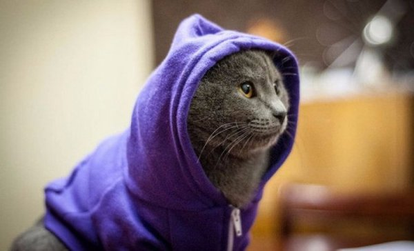 Одежда для кошек: для чего нужна, как выбрать и как ...