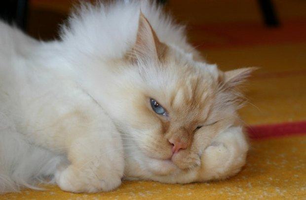 Огуречный цепень у кошек лечение признаки и симптомы опасен ли для человека