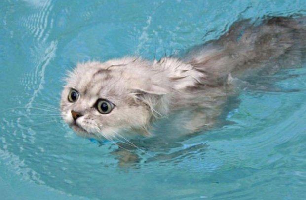 Породы кошек которые любят воду