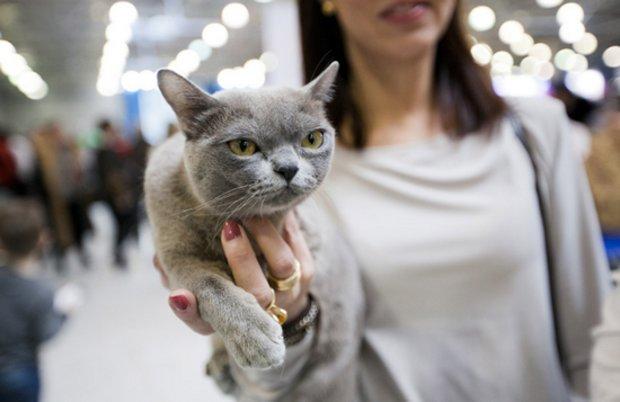 Фелинология: это какая наука. Эксперт-фелинолог: специалист, изучающий кошек Кого изучает наука фелинология кошек или филинов
