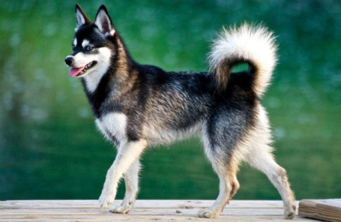 Alaskan Klee Kai walking on wooden path