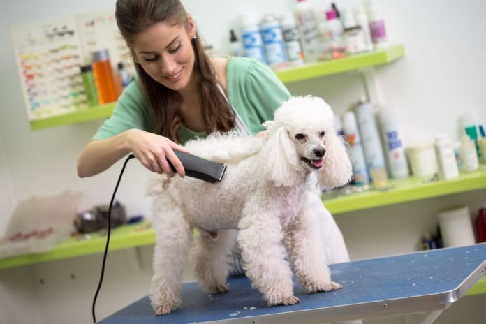 woman haircut white poodle